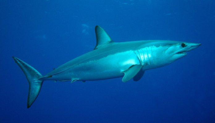 tubarão anequim no mar